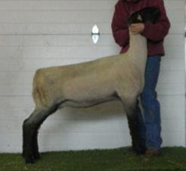 BreedingSheepOnline com :: Your online source for the